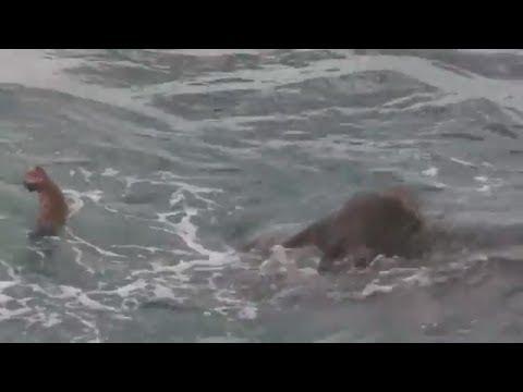 Überlebenskampf: Sri Lankas Marine rettet Elefant in letzter Minute aus Seenot