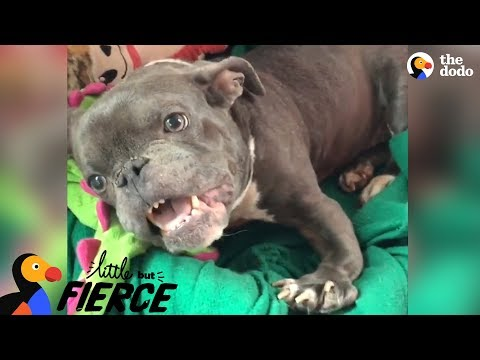 download Pit Bull Dog With Dwarfism Makes Her Dad Laugh Nonstop   The Dodo Little But Fierce