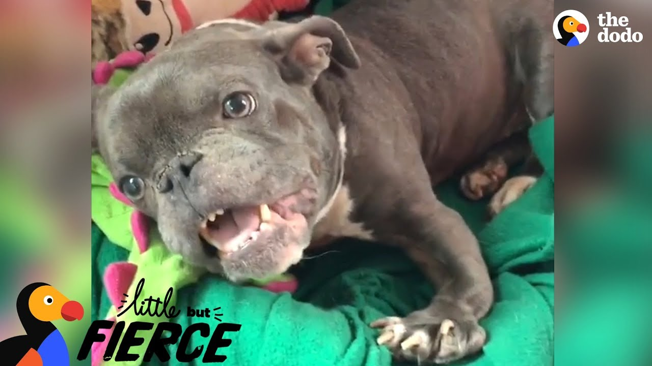 Pit Bull Dog With Dwarfism Makes Her Dad Laugh Nonstop   The Dodo Little But Fierce