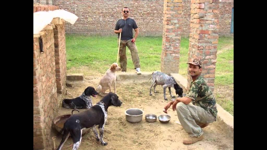 Englisht Pointer Dog Pakistan In Haripur Youtube