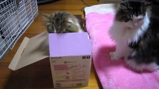 蓋付きの箱に入ったとろたん、まーちゃんが順番待ち? (落ちはありませ...