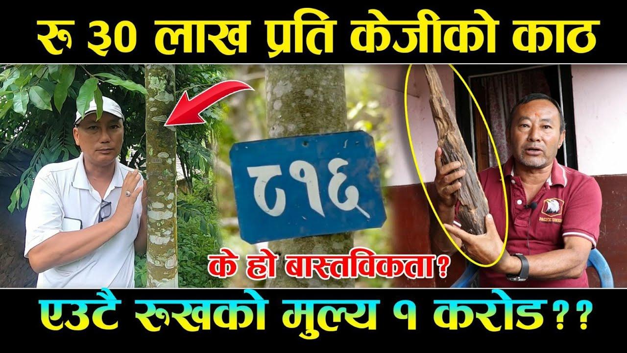 १ किलोको ३० लाख || सुन भन्दा महङ्गो वनस्पतिको खेती गर्दै गुल्मिका कृषक || Agarwood farming in Nepal