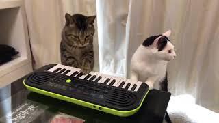 Коты играют на пианино)))