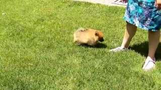 Gambar cover Fur and Paws - Purebred Pomeranian Puppy Crunch