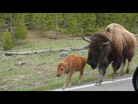 Yellowstone bison traffic jam