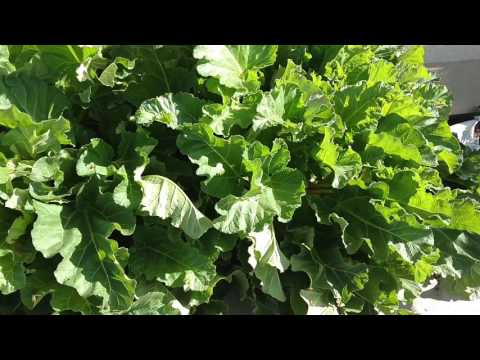 Bees Bees Naturally Treating Themselves With Oxalic Acid From Rhubarb Plants