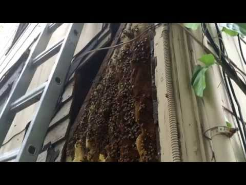 bee-removal-037---bees-in-wall