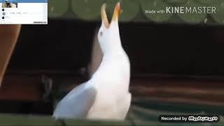 Чайка смеётся,(прикол ,из голосовухи)