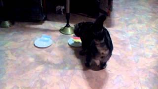Кот мотылёк отказывается есть еду под немецким флагом.
