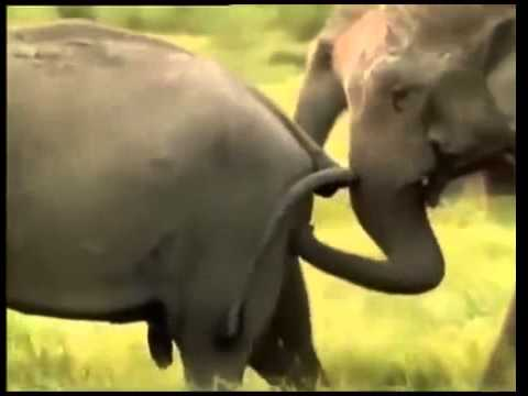 Интимная жизнь секс слонов фото фото 570-913