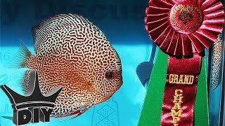 DISCUS GRAND CHAMPION!!(Today we talk with Wes, the 2016 discus aquarium fish grand champion winner!! MEET UP Event page ..., 2016-12-01T16:55:29.000Z)