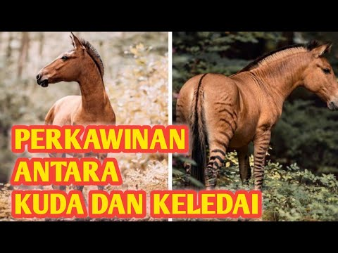 kawin silang kuda dengan keledai./crossbreeding a horse with a donkey. @TOROH TV
