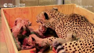 Сразу восемь котят появились на свет у самки гепарда в Сент-Луисе