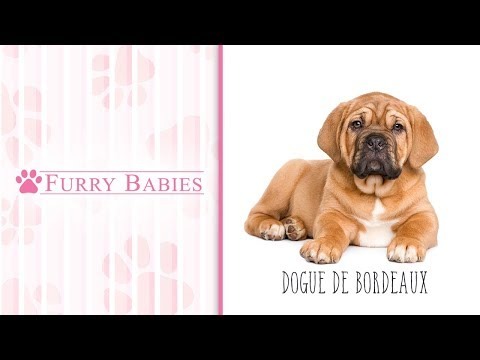 Is the Dogue De Bordeaux the right breed for you?