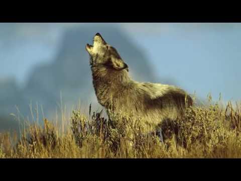 ПЕСНЯ   ОДИНОКИЙ ВОЛК Блатной Удар   Одинокий волк Лучший Хи