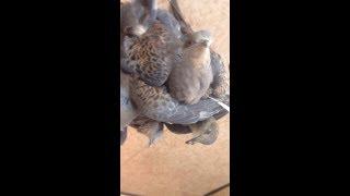 Lưới bẫy chim cu gáy