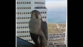 Сокол-птица.wmv