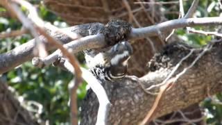 コゲラが餌を食べているようす。
