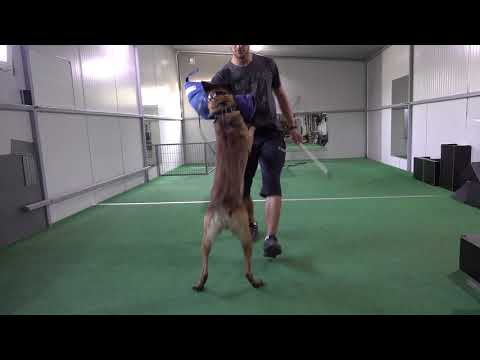 Cris Belgian Malinois - Obedience Detection and Protection