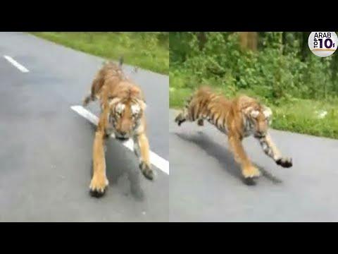 هذا النمر طارد الدراجة أنظر كيف كانت عاقبته ..!!