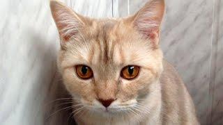 Шотландская прямоухая кошка - Scottish Straight