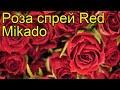 Роза спрей Ред Микадо. Краткий обзор, описание характеристик, где купить саженцы Red Mikado