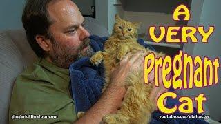 A VERY Pregnant Rare Female Ginger Cat