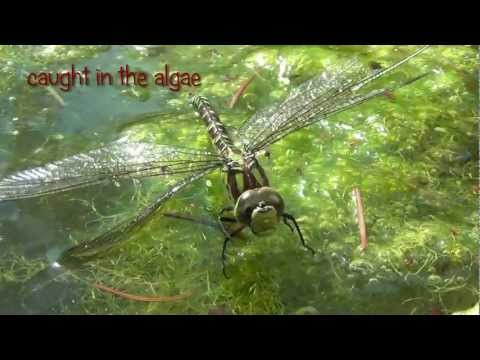 Libelle / Dragonfly (Aeshna cyanea) caught in algae - partially macro filmed