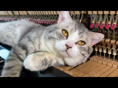 Lullaby for fat cats - Meow loves piano massage