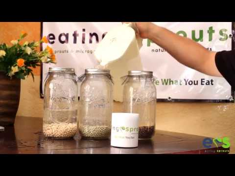 How to grow Peas Microgreens (Brown Speckled Peas, Green Peas Shoots, and Yellow Dun Peas)