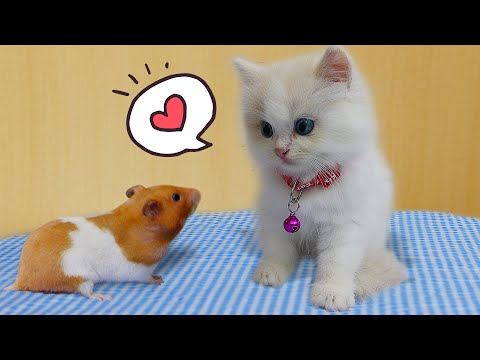 ?? CAT KITTEN And HAMSTER ? [OBSTACLE COURSE] Funny Cat Complilation by Life Of Pets Hamham