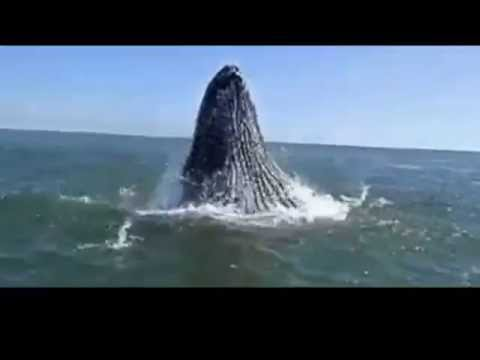 Whales breaching: Huge jumps out of the water -  Whale breaching