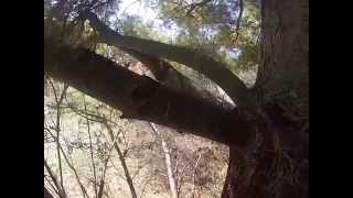 Climbing a Pine Tree-FPSV