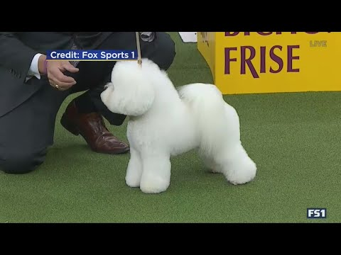 Flynn – A Bichon Frise – Wins Best In Show At Westminster