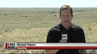 Bison Return to the Canadian Prairies