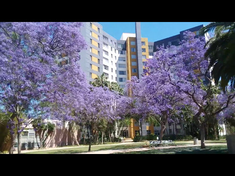 Purple Flower Trees all over Los Angeles Hollywood California..Vacation in Los Angeles California