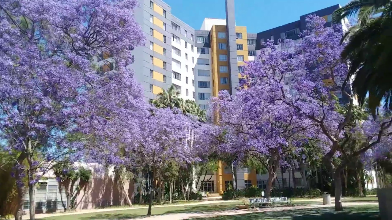 Purple Flower Trees All Over Los Angeles Hollywood California