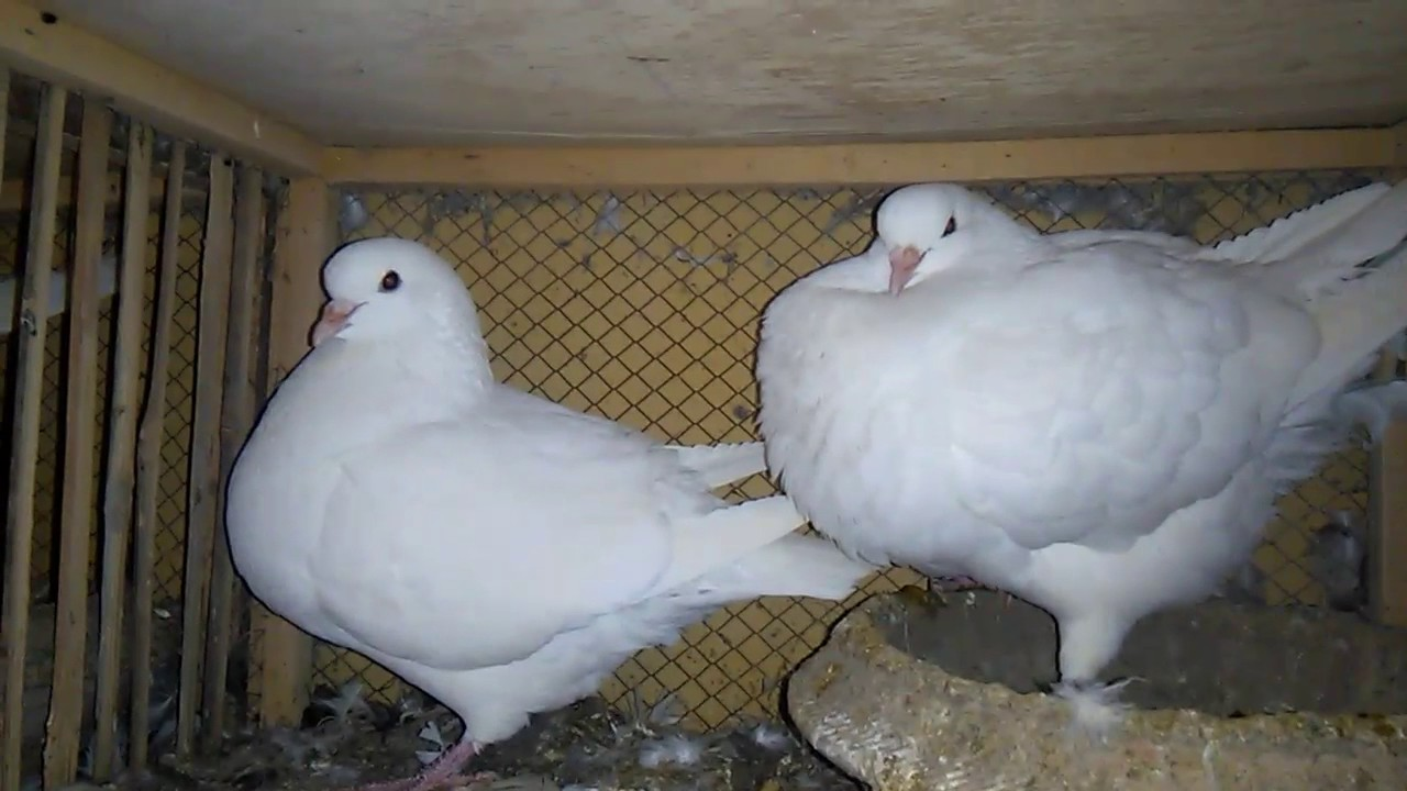 17 months old White King pigeons breeder pair 03459442750 Zain Ali farming  in Pakistan urdu/hindi by How To Start Farming in Pakistan 03459442750 Zain