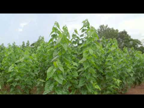 Building Resilience and Livelihoods with Agroforestry in Uganda