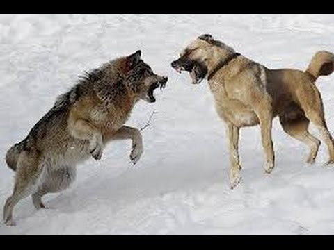 WOLF VS FİVE DOGS FİGHTİNG.... AMAZİNG #1 - YouTube