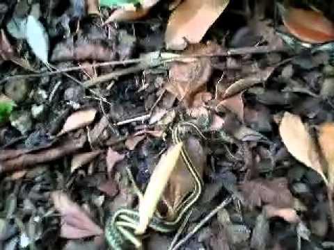 ตั๊กแตน ฆ่า งู