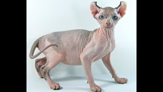 Как выглядят породы кошек (КОШКА ЭЛЬФ)