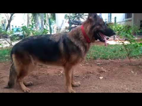 german sheperd dog  guide for dog lovers in tamil