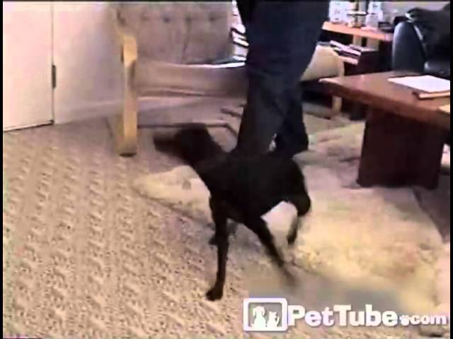 Tail Spinning Dogs: Best of the Best- PetTube