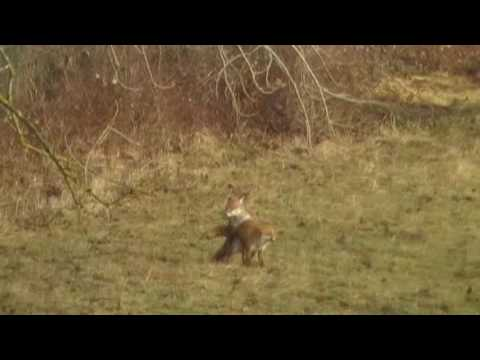 Foxes Mating  Foxes mate as second vixen waits :)