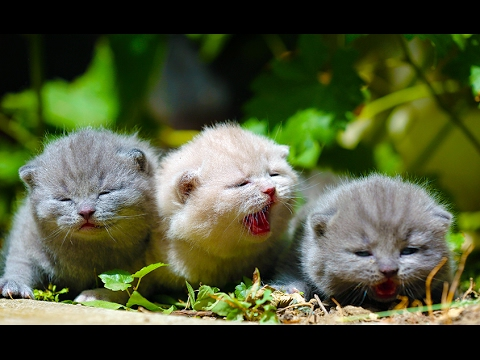Adorable kittens meowing and talking, 3 weeks British Shorthair 18 days REAL SOUND - 4K