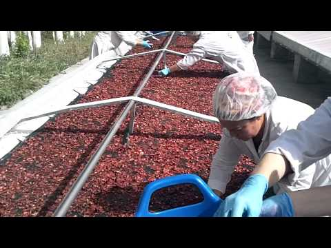 Organic Strawberries Silk Road Organic Foods Uzbekistan Part 3