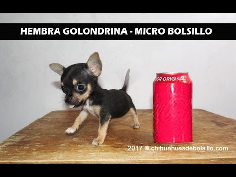 Teacup Chihuahuas For Sale - Teacup Puppies