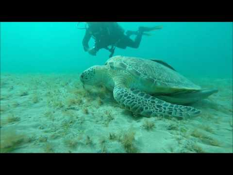 grazing sea turtle
