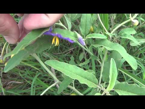 Silverleaf Nightshade Solanum elaeagnifolium is Poisonous and growing on Shoal Creek Austin TX